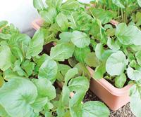 種から野菜を育てる場合